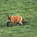 Rotfuchs ((Vulpes vulpes)
