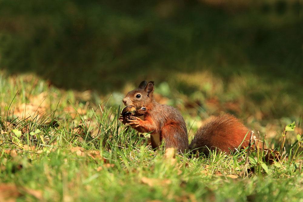 15_Eichhörnchen