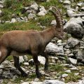 Alpensteinbock (Capra ibex ibex)
