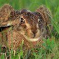 Feldhase (Lepus capensis)