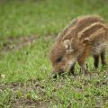 Wildschwein Frischling (Sus scrofa)