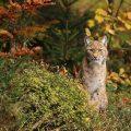 Luchs (Felis lynx)